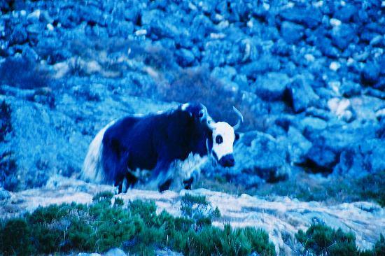 CNV000038 夜の放牧から仕事へ.jpg